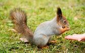 Squirrel — Foto de Stock