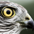 Sparrow-hawk — Stock Photo