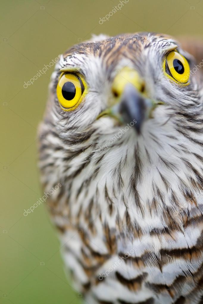 Birds of Europe - Sparrow-hawk (Accipiter nisus). — Stock Photo #18750109
