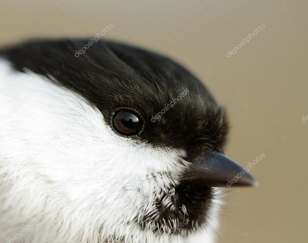 Portrait of Willow Tit (Parus montanus) closeup.  Stock Photo #18750377