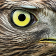 northern goshawk — Stock Photo