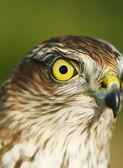 Sparrow-hawk — Stock Photo