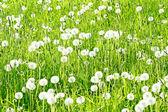 Dandelions — Foto Stock