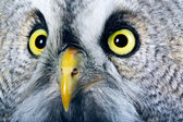 Great Grey Owl — Stock Photo