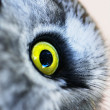 Stock Photo: Boreal owl