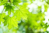 枫叶 — 图库照片