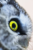 Boreal owl — Stock Photo