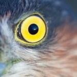 Постер, плакат: Sparrow hawk