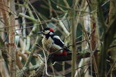 Woodpecker — Stockfoto