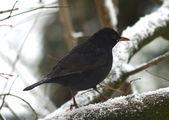 Blackbird — Stock Photo