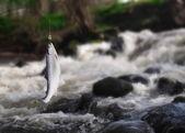 Salmão na vara de pesca — Fotografia Stock
