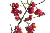 Fruit shrub euonymus europaeus — ストック写真