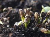 Germination plant — Stock Photo
