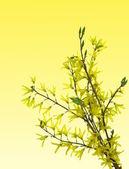 Forsythia flowers on twig — Stock Photo