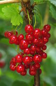 red currants on shrub — Stockfoto