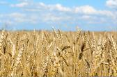 Rich harvest — Stock Photo