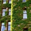 Green Vines Around Old Windows — Stock Photo