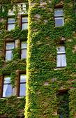 Green Vines Around Old Windows — Stock Photo