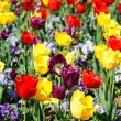 Many Colored Tulips — Stock Photo