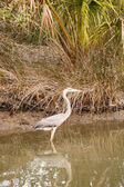 Great Blue Heron Wading in Marsh — Stock Photo