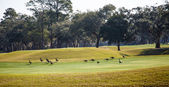 Canada Geese on Golf Course Green — Stock Photo