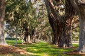 Querce secolari lungo erboso lane — Foto Stock