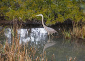Great Blue Heron Wading in Pool — Stock Photo