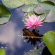 Pink Lilly in Pond — Stock Photo