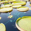 Large Lilly Pads in Blue Water — Stock Photo