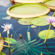 Two Lillies and Lilly Pads — Stock Photo