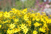 Yellow Wildflowers in a Public Garden — Stock Photo