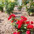 Sunny Rose Garden — Stock Photo