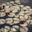 Lilly Pads in Sunny Pond — Stock Photo