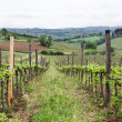 View Down Row of Grape Vines — Stock Photo