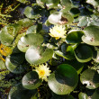 Yellow Flowers in Lilly Pads — Stock Photo