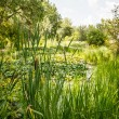 Cat Tails and Lilly Pads — Stock Photo