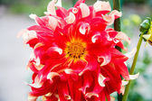 Beautiful Red Dahlias in Garden — Stock Photo