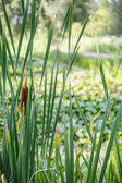 Cattail by Marsh — Stock Photo