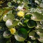 Yellow Lillies Among Lilly Pads — Stock Photo