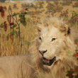Stock Photo: Male Lion in Grasslands