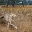 Stock Photo: Cheetah in Grasslands