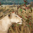 Stock Photo: Female Lion in Grasslands