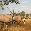 Stock Photo: Gemsbok