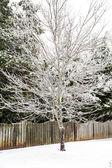 Small Tree in Snowy Yard — Stock Photo