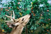 White Tailed Deer Feeding — Stock Photo