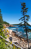 Lone Pine in Acadia Forest — Stock Photo