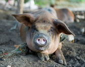 Dirty pigs — Stock Photo
