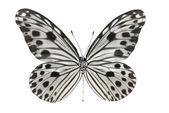 Butterfly (Idea lynceus) — Stock Photo