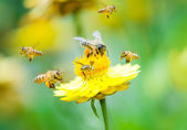 Group of bees on a flower — Stock Photo