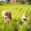 Traditional Asian farmers working — Stock Photo